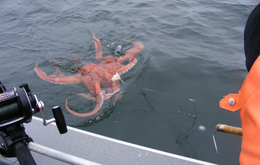 ловля на октопус